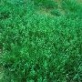 winter annual grass_atrazine