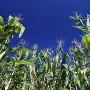 atrazine_corn